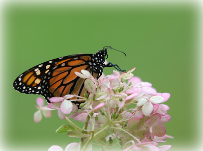A Monarch Butterfly I raised this fall. This shot was in my garden I used the lawn as the backdrop for this shot was rather happy with the way the DOFgave a beautiful  soft washed out green color. Have a great day everyone and keep all the beauty of the world flowing through your lens for all to see......