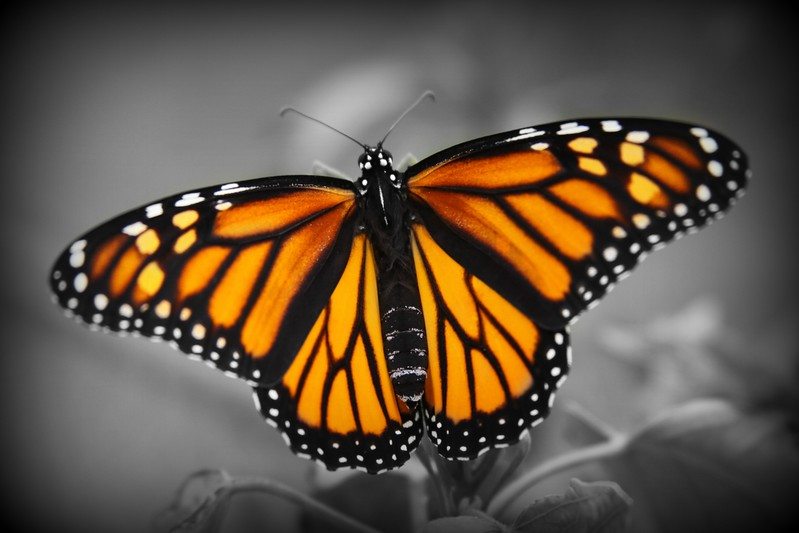 A beautiful monarch butterfly .  I photographed this colorful creature before he headed out on the long journey south.   Have a great day all...