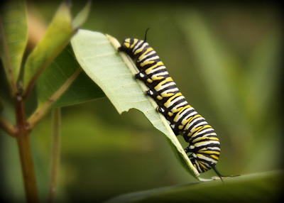 The life cycle of the monarch catapillar...... This is the first shot I will put up. Tommorrow and Friday I will put step two and the final product up. We raised this little guy at the house.  and we came away with a beautiful butterfly. Hope everyone has a chance to see all three shots.   Have a great day and keep shooting everyone....