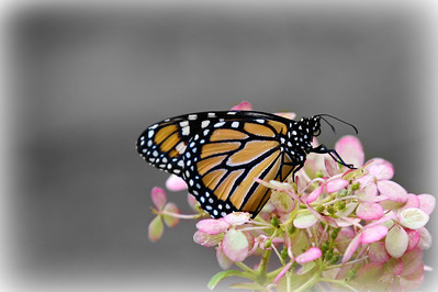 WOW Thank you everyone for all the great comments that you have left me.. This mini series was so much fun I love this community and all the people really give you a lift and make me want to go out and work at this craft...... OK here is my baby the Monarch butterfly... This is an amazing transformation to see accompolished in about 20 days to go from the caterpillar to this beautiful gift for all to enjoy.....For those who missed the first two shots you can find them in my daily's  gallery... HAVE A GREAT DAY EVERYONE and keep shooting.