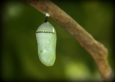 GOOD MORNING....  Day two of my mini series this is the chrysalis  the second stage in the monarch buterflys life. It's amazing to watch that little catepillar shack it's skin and go into this beautiful stage .    Thank you for all the great comments yesterday  on the shot of the catepillar.. Have a great day and I will be back tommorrow with the shot of my butterfly....