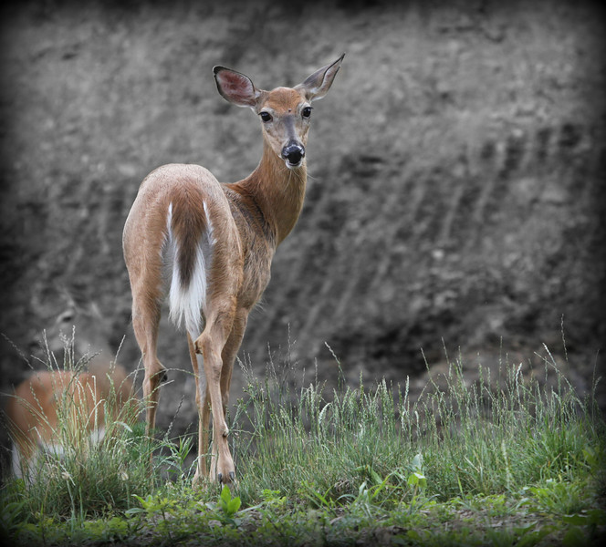 I enjoy trying to sneek up on White tail deer. I only get so close but with all the heat the last couple of days they are moving a little slower or it appears that way I was able to move in fairly close and they stayed put and allowed me to get a few nice shots... Hope everyone has a great weekend...6/22/12