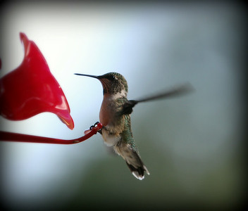 My only Hummingbird.