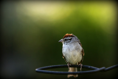 A little sparrow