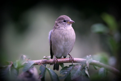 A cute little sparrow.