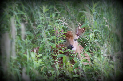 Here is a shot from yesterday. We just had a rain storm and out behind my home I noticed a little movement out in the field. This little fella was lying down in the deep grass. I grabbed my trusty camera and tried to sneak up on him. This is the only shot I got off - not perfect, but I thought it was cute. When it jumped up to run, to my surprise, there happened to be a twin hiding with him. Have a great Sunday everyone....