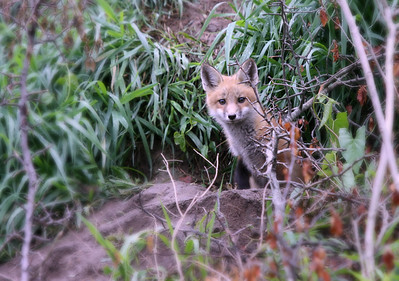 A  young red fox pup coming out of it's den. I found this den in a field near my home this little guy stuck it's head out and I think was surprised to see me laying in the tall grass waiting for him to arrive. He did hang around long enough for me to get a few nice shots. It was a great time for me it gave me a rush being able to sneek in close enough to come away this shot.   Have a great day everyone....