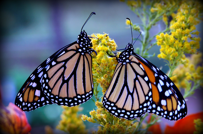 Our last two Monarch butterfly's