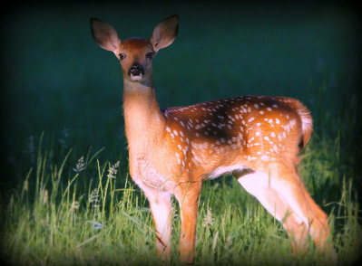 A young White Tail fawn...