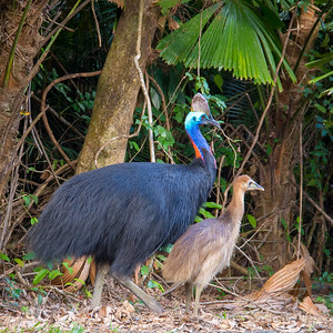 Cassowaries , Daintree Forest, Queensland