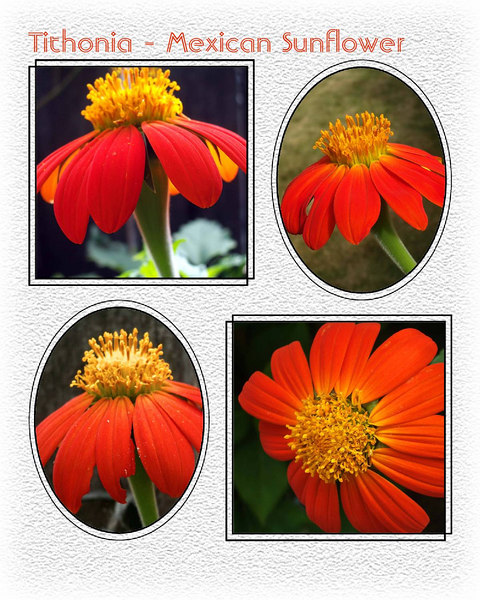 Scrapbook - Tithonia - Mexican Sunflower