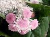 Ageratum houstonianum - Flossflower<br /> Family: Asteraceae<br /> Tribe: Eupatorieae