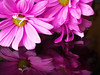 Daisy, pink. Reflection