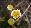 Daisy, weed
