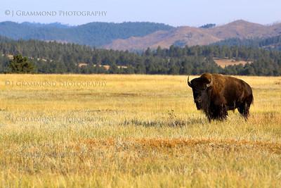 Bison-6843
