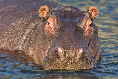Hippo 7-4-13-053