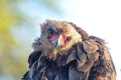Bateleur eagle- juvenile