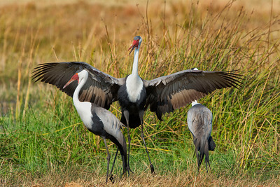 Wattled Cranes-Chitabe AM 7-6-13
