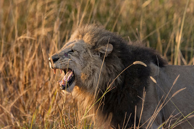 Dominant Male lion roaring