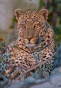 Male Leopard-2-Duma Tau