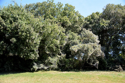 Rowlett Spider Invasion August 2015