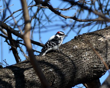 Backyard Woodpecker