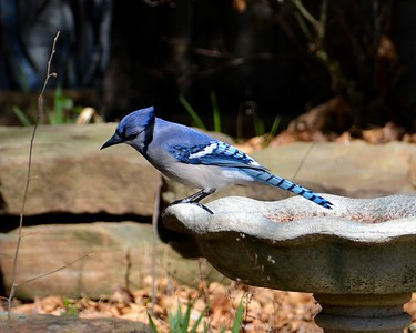 Backyard Bluejay