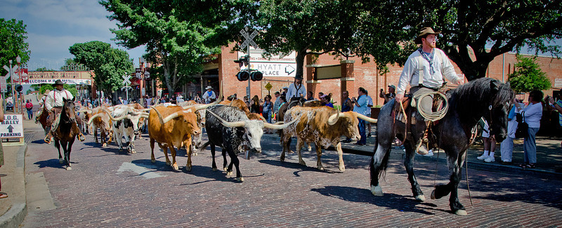 The daily 4pm cattle drive at the Stockyards, Fort Worth, Texas. 3 May 2012.