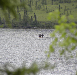 July 2, 2010:  A bull moose, with antlers in the velvet, browses on the bottom of shallow Grayling Lake near Mile 150.