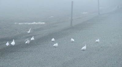 It was so foggy, even the ptarmigan were grounded.