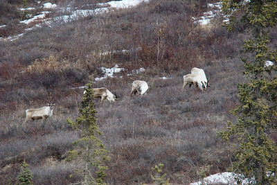 After crossing the road just ahead of my vehicle, these caribou stop to enjoy a snack of fresh lichen. (Yuck!)