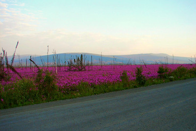 July 4, 2009  06:00: Never saw the fireweed as vibrant as this year.  Fantastic, all the way from down around Mile 29 on up past Mile 83.  A later trip to Chicken saw the same beauty on the Taylor Hwy.