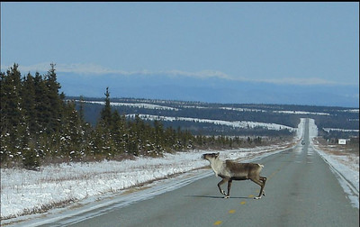 3/31/07 - Near Donnelly Dome, a couple of bull caribou were migrating across the highway on their way to the summer grazing grounds.