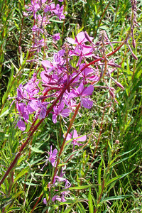 Fireweed blossoms, closeup.