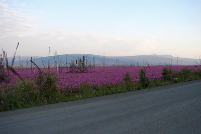 July 4, 2009 - For some reason the color of the fireweed this year seems to be even more vibrant.  It was first noticed around Mile 29, and again here around Mile 82 it has the same quality.  It is impossible for a camera to capture it the way it appears to the human eye, with hundreds of acres covered with plants bearing the brilliant blossoms.