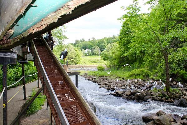 16.06.15 Fish Ladder at Damariscotta Mills