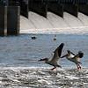 SW 04846 - Pelicans at De Pere Dam