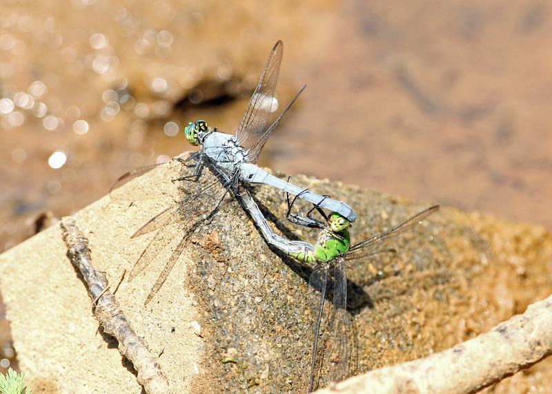Dragonfly, Eastern Pondhawk