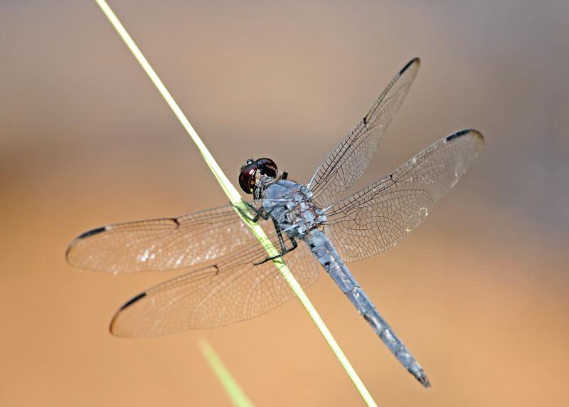 Dragonfly, Slaty Skimmer
