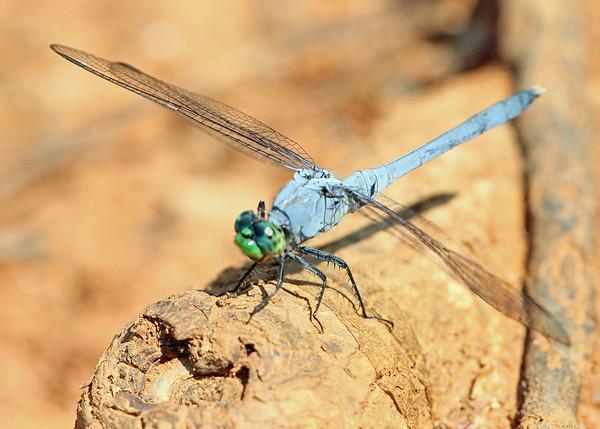 Damselflies & Dragonflies