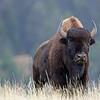 Bison, American  2015-09-17 Yellowstone 2015 077-1