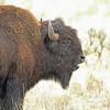 Bison, American  2015-09-17 Yellowstone 2015 064-1