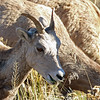 Sheep, Big Horn 2015-09-17 Yellowstone 2015 689-1