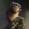 Chipmunk, Least 2012-09-25 Yellowstone 578-1