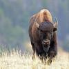 Bison, American  2015-09-17 Yellowstone 2015 079-1