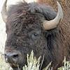 Bison, American  2015-09-17 Yellowstone 2015 076-1