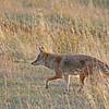 Coyote 2015-09-17 Yellowstone 2015 630-1