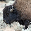 Bison, American 2012-09-25 Yellowstone 366-1