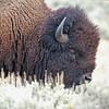 Bison, American 2012-09-25 Yellowstone 001-1