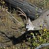 Deer, Mule 2015-09-17 Yellowstone 2015 643-1